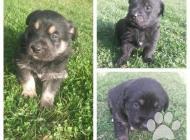 Inzercia psov: Darujeme šteniatka!