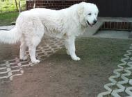 Inzercia psov: 8-mesačné šteniatko Sl...