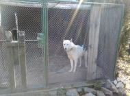 Inzercia psov: predam  zapadosibirsku...
