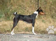 Inzercia psov: Basenji / Baobabinkala...