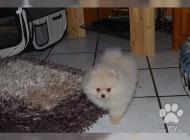 Inzercia psov: pomeranian stenata