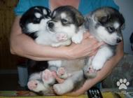 Inzercia psov: Aljašský malamut-šteni...