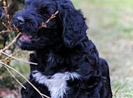 Inzercia psov: Portugalský vodný pes ...