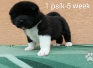 Inzercia psov: Americka Akita,Stenata...