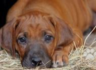 Inzercia psov: Predám šteniatka RR