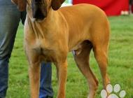 Inzercia psov: Darujem - pes brazilsk...