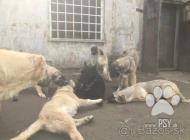Inzercia psov: Kangal šteniatka s pap...