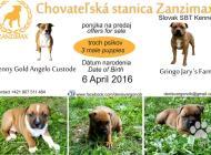 Inzercia psov: Volní psíkovia SBT s PP