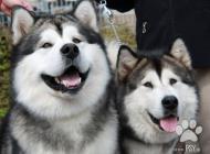 Inzercia psov: Aljašský malamut