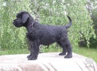 Inzercia psov: Bradáč veľký čierny - ...