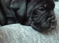 Inzercia psov: šteniatka Cane Corso