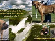 Inzercia psov: Brazilská Fila s PP FCI