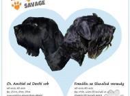 Inzercia psov: CHS Tender Savage - Št...
