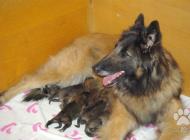 Inzercia psov: Belgický ovčák tervuer...