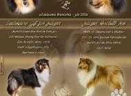 Inzercia psov: Kólia dlhosrstá - šten...