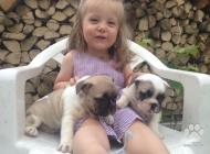 Inzercia psov: Francúzky buldocek