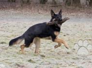 Inzercia psov: Koupím chovnou fenu