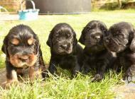 Inzercia psov: Prodej štěňat anglické...