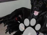 Inzercia psov: Prodám štěňátka z pers...