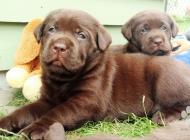 Inzercia psov: Labrador – čokoládové ...