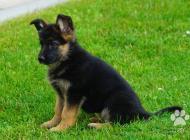 Inzercia psov: štenata