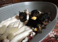 Inzercia psov: Yorkshírsky Teriér Mini