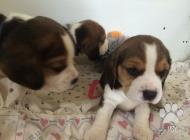 Inzercia psov: Čistokrvné šteniatka b...