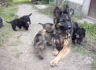 Inzercia psov: Šteniatka Nemeckého ov...