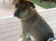 Inzercia psov: kríženec s labradorom