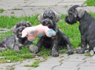 Inzercia psov: Bradáč stredný korenie...