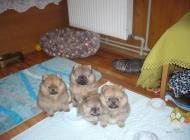 Inzercia psov: Pomeranian