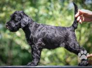 Inzercia psov: Štěňata na prodej - Kn...