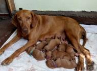 Inzercia psov: Maďarská vyžla - šteni...
