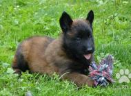 Inzercia psov: Nabízím štěňata belgic...