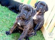 Inzercia psov: Predám šteniatka Cane ...