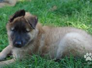 Inzercia psov: Belgický ovčák - Tervu...