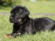 Inzercia psov: Překrásné štěně Tosa I...