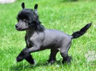 Inzercia psov: Čínský chocholatý pes-...
