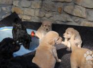 Inzercia psov: Hovawart s PP -  po vy...