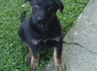 Inzercia psov: Predam steniatka nemec...
