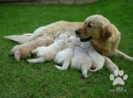 Inzercia psov: Šteniatka Zlatý Retrie...