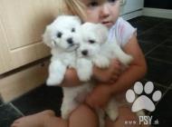 Inzercia psov: Maltezský psík