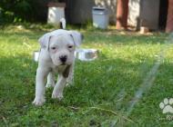 Inzercia psov: Americky buldog- šteni...