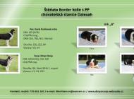 Inzercia psov: Štěňata border kolie s PP