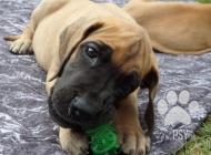 Inzercia psov: Německá doga-štěňátka ...