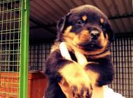 Inzercia psov: Predám šteniatka rotva...