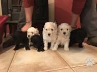 Inzercia psov: Predaj Puli