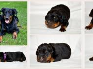 Inzercia psov: Beauceron šteniatka s PP