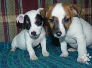 Inzercia psov: Jack Russel terier-pre...
