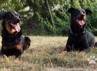 Inzercia psov: Beauceron - rezervácie...